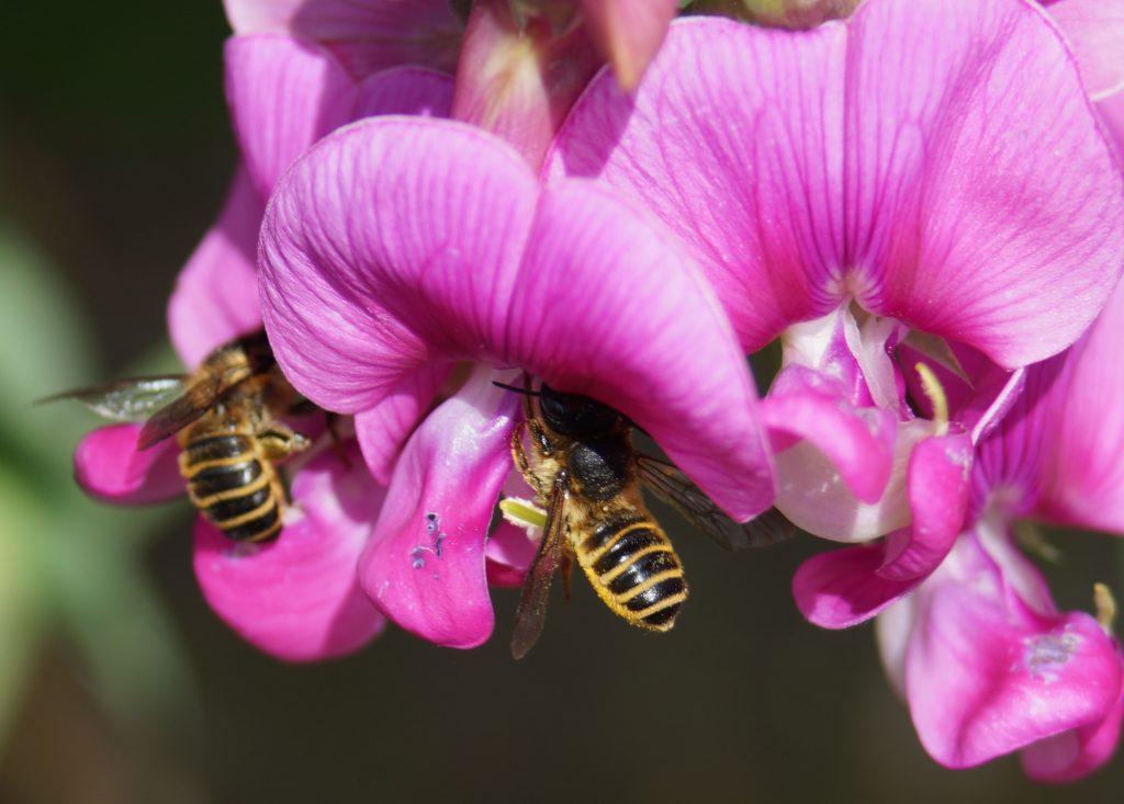 zwei Wildbienen